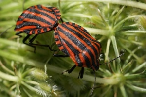 Orange and Black Striped Stinkbugs Mating