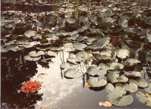 Water Lilies At Mendocino
