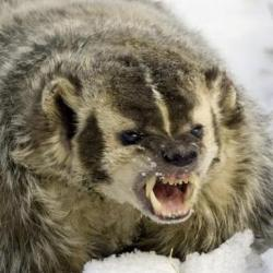 Angry Badger