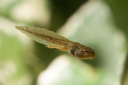 Image result for half tadpole half frog