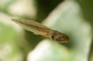Half Tadpole Half Frog