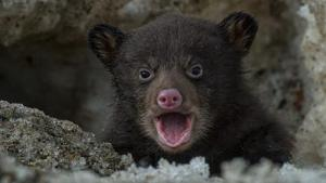 Bear Cub Fretful Wail Crying