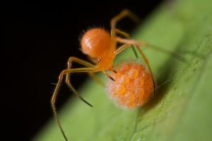 Orange Spider Stealing Skuzlouskian Eggs