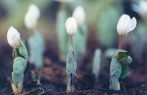 Bloodroot Easter Candle Flowers