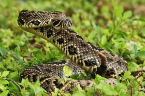 Eastern Diamond Rattlesnake Ready to Strike