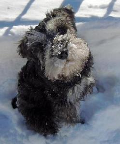 Schnauzer in Snow With Head Tilted