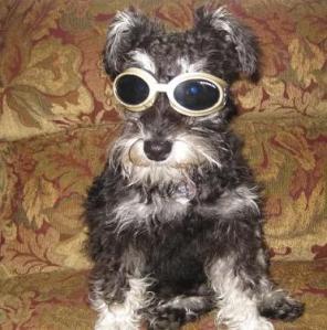 Schnauzer With Sunglasses