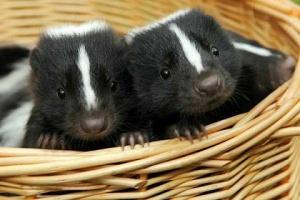 baby skunks in basket
