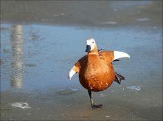 Balancing Duck