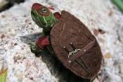 Ninja Turtle Wee Turtle Is Missing!  Help Me Find Him!!