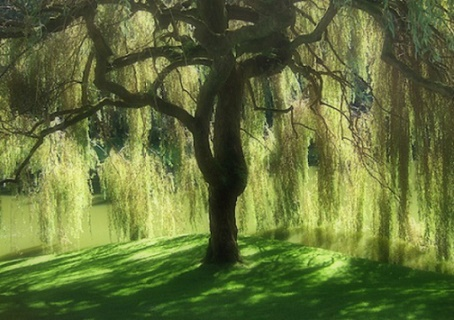 Inside a Weeping Willow