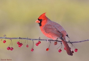 Smiling Cardinal on Berry Branch