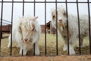 Pygmy Goats Behind Wrought-Iron Fence